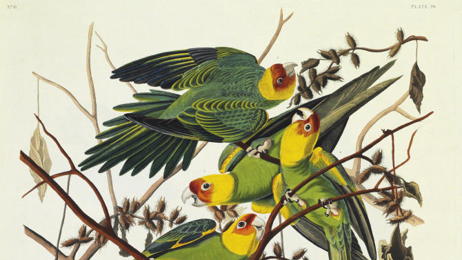 """This picture provided by Christie's showing the Carolina Parrot is from a rare first edition set of John James Audubon's """"The Birds of America."""" Considered a masterpiece of ornithology art, the four-volume set contains more than 400 engraved hand-colored plates of all the North American species known to Audubon in the early 19th century. The volumes stand 3 ½-feet high because of Audubon's desire to depict the birds in their actual size and natural habitat. Christie's said the set is expected to sell for $7 million to $10 million at it's Jan. 20 auction. (AP Photo/Christie's)"""