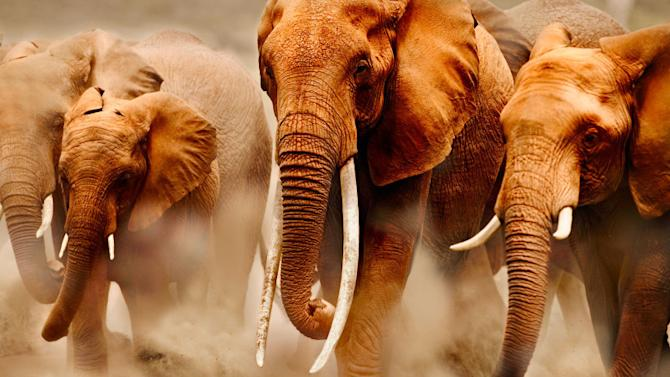 African elephant (Loxodonta africana) herd on the move. In the middle, cow elephant with exceptionally long tusks. Amboseli National Park, Kenya. Distribution Sub-Saharan Africa.
