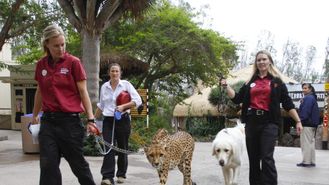In this Nov. 29, 2012 photo, cheetah keepers Shannon Smith, left, Kim Hanley, second from left, walk Shiley, a male cheetah 3-and-half-years -old, while Larissa Combs, lead cheetah keeper, walks Yeti, a female Anatolian shepherd, during an animal ambassador walk through Safari Park, in Escondido, Calif. (AP Photo/Lenny Ignelzi)