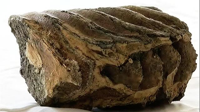 Mammoth Tooth Found in San Francisco Construction Site
