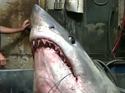Big Shark, Could Be Record, Caught Off Calif.