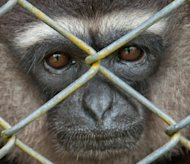 A rescued gibbon undergoing rehabilitation at the Kalaweit sanctuary in Pararawen village. More than 400 plants and animals were added to a &quot;Red List&quot; of species at risk of extinction