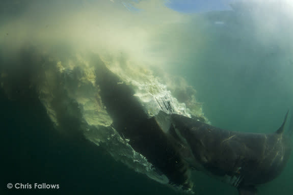 Great White Sharks Gorge on Dead Whale Blubber