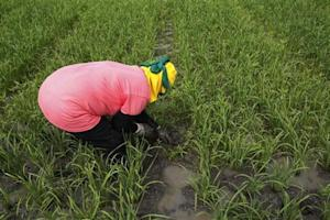 A farmer uproots weeds at a rice farm inside the Manila-based International Rice Research Institute in Los Banos