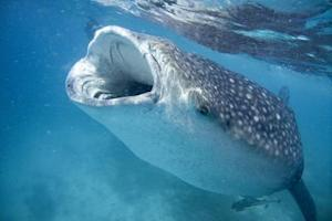 Vacationers' Photos Help Scientists Track Whale Sharks