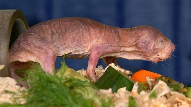 The mole rat may not be winning any beauty pageants, but it could prove useful in a big way.