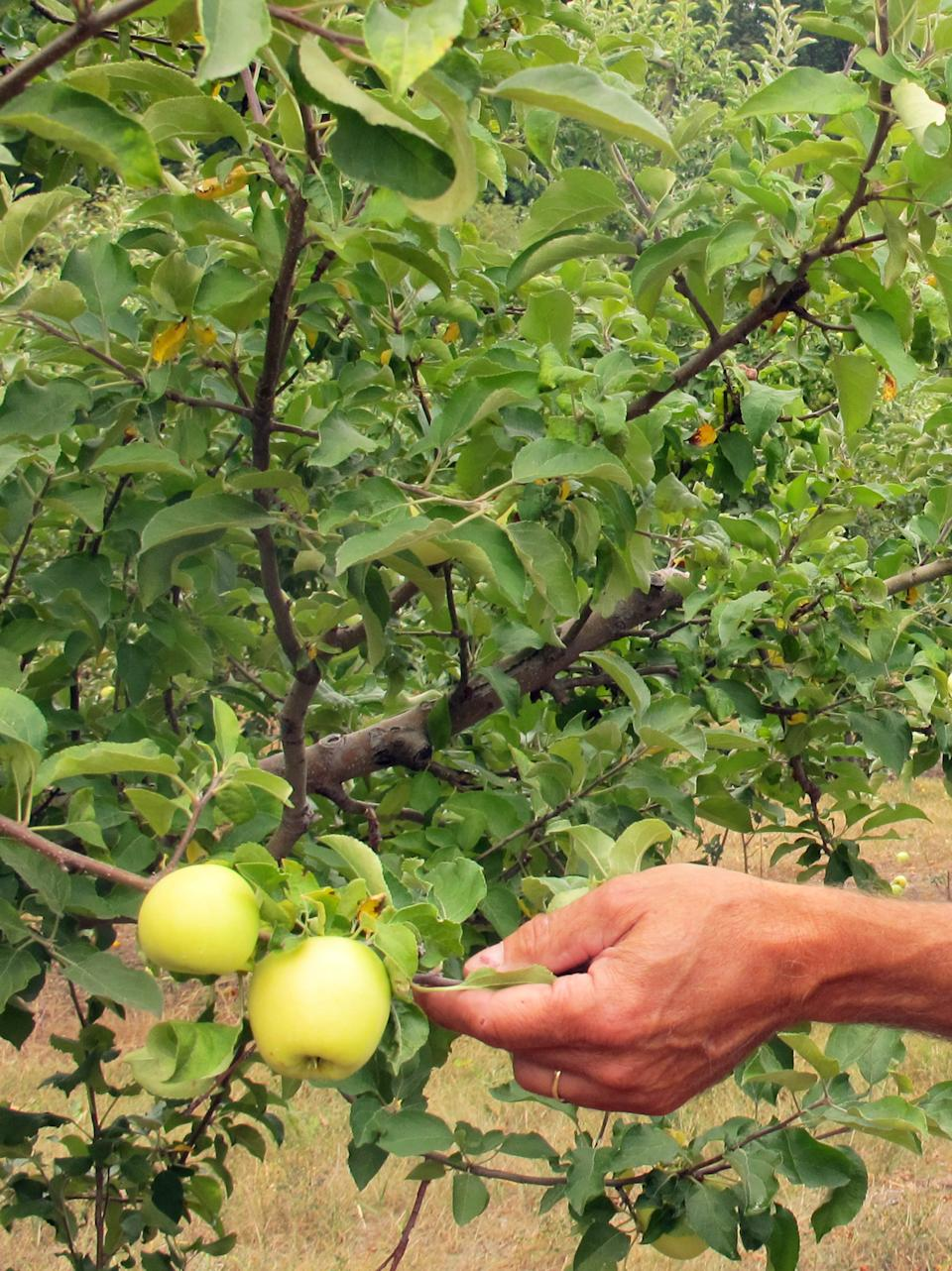 In an Aug. 13, 2012 photo Alan Spinniken examines Early Gold apples in his orchard near Suttons Bay, Mich. The apple harvest has begun early across the Great Lakes region because a rare spring thaw caused trees to bud sooner than usual. (AP Photo/John Flesher)