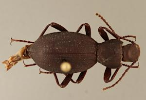 New Beetle Species Found in Remote Arizona Cave