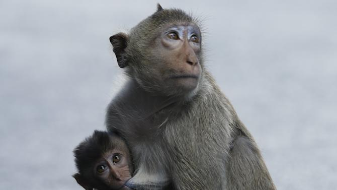 A long-tailed macaque feeds a juvenile at the Pra Prang Sam Yot temple before the annual Monkey Buffet Festival in Lopburi