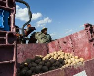 A farm hand stands by the harvested potato crop at King&#39;s Hill Farm at Mineral Point, Wis. on Monday, July 30, 2012. The potato yield is about one-fifth of the expected yield, but is the farm&#39;s only salvageable crop after the other crops perished in the drought gripping large sections of the Midwest. (AP Photo/Sitthixay Ditthavong)