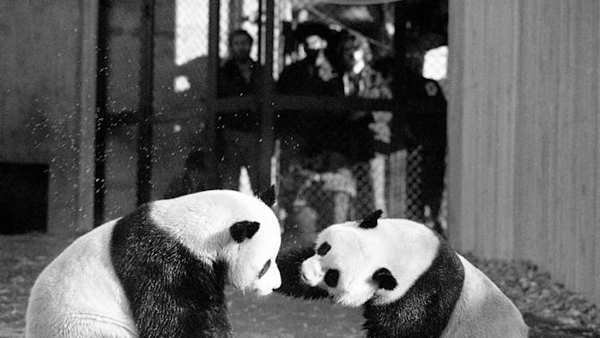 FILE - In this April 20, 1974 black-and-white file photo, The National Zoo's giant pandas, Ling-Ling and Hsing-Hsing  play in their yard in Washington.  The National Zoo is celebrating 40 years of pandas. Monday was the 40th anniversary of the day pandas Hsing-Hsing and Ling-Ling landed at Andrews Air Force Base in Maryland. The pandas were gifts to the United States from China following President Richard Nixon's historic visit to the country. The pandas were officially presented to the Zoo on April 20, 1972. Ling-Ling lived at the National Zoo until 1992, when she died. Hsing-Hsing died in 1999. (AP Photo/Charles Tasnadi, File)