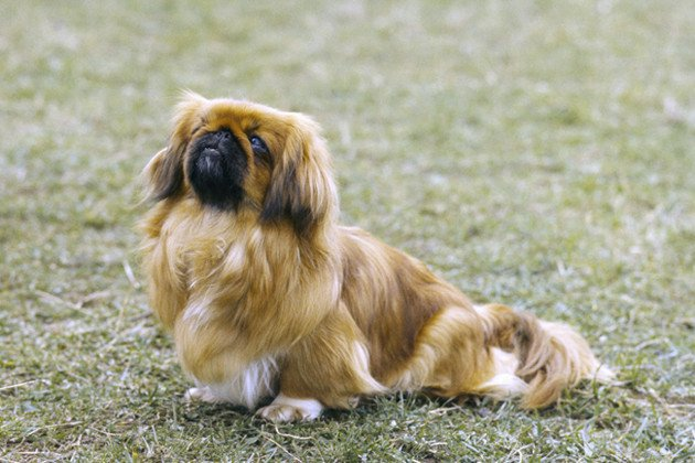Pekingese — Low-Energy Lover