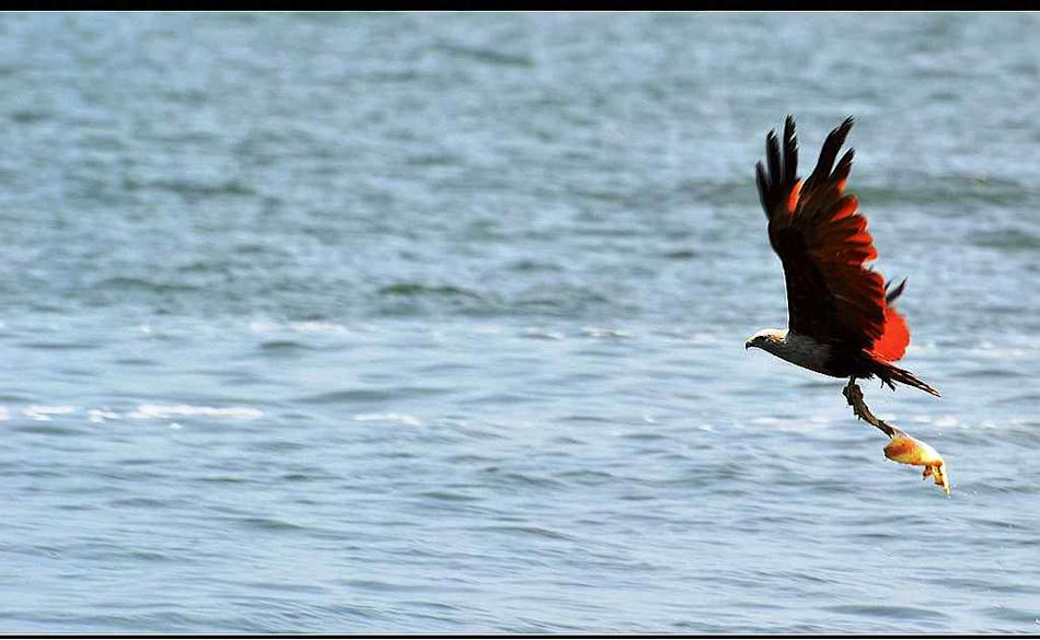 Travel Wildlife Brahminy Kite