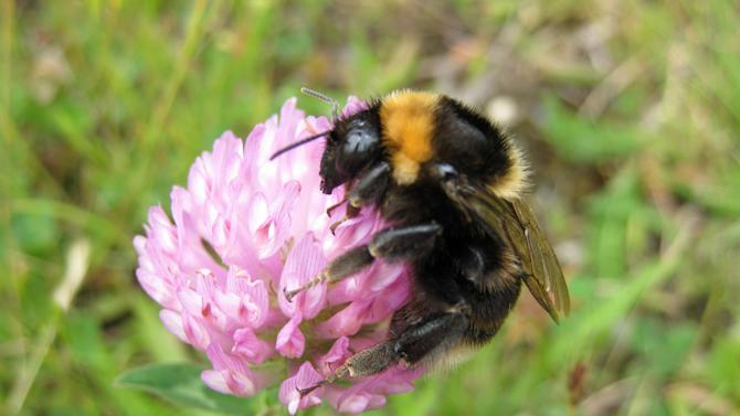 This undated photograph made available by ecologist Nikki Gammans shows a short haired bee on red clover in New Zealand. They've been away but now they are -- hopefully -- buzzing back to their rightful place in the bucolic British countryside. Around 50 short-haired bees were released into an English nature reserve Monday May 28, 2012, some two decades after they were wipe out from most of rural Britain. The reintroduction plan has been supported by farmers who have agreed to grow flowers and plants that help bees flourish. 'Our farmland always used to have wild flower borders. We are just asking farmers to go back to the way things were and the response has been overwhelmingly positive,' ecologist Nikki Gammans told the Associated Press. (AP Photo/Nikki Gammans, HO)