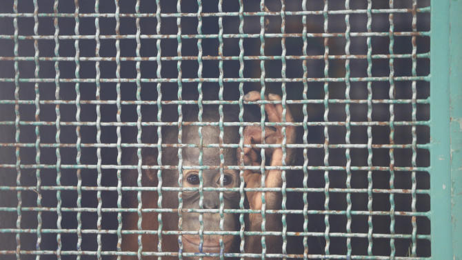 Two-year-old orangutan named Moza looks behind a cage in Jakarta