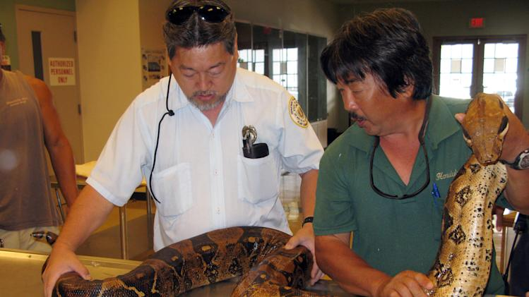 In this July 5, 2011 photo provided by the Hawaii Department of Agriculture, Keevin Minami, Plant Quarantine Inspector, HDOA, left and  Dwain Uyeda, Reptile Supervisor, Honolulu Zoo, right, examine a 9-foot boa constrictor in Honolulu. Long kept out of Hawaii's paradise, snakes are increasingly slithering into the islands, posing a grave danger to tropical birds, colorful plants and the vibrant environment that draws millions of tourists to the state each year. (AP Photo/Hawaii Department of Agriculture)