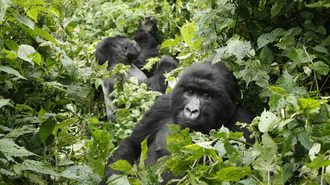 """FILE- In this file photo taken Tuesday Nov. 25, 2008, two mountain gorillas are seen in the Virunga National Park, near the Uganda border in eastern Congo. Virunga now has about a quarter of the world's remaining 790 mountain gorillas, with the others concentrated in parks in neighboring Rwanda and Uganda. The park was named a U.N. World Heritage site in 1979 for its unique diversity and the opulence of its animal and bird species. Despite all the conflict _ back-to-back civil wars that drew in the armies of half a dozen African nations between 1996 and 2002, and then rebellions in 2004, 2008 and a new one that erupted in April _ the numbers of mountain gorillas have actually grown. """"The population has nearly doubled in recent years _ an enormously successful exercise but at a high price,"""" said Emmanuel de Merode, the park's director and chief warden. (AP Photo/Jerome Delay)"""