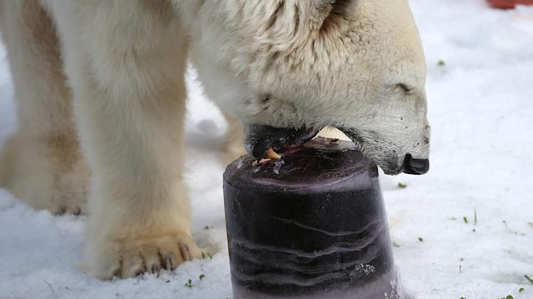 Polar Bears At San Francisco Zoo Get 10 Tons Of Fresh Snow