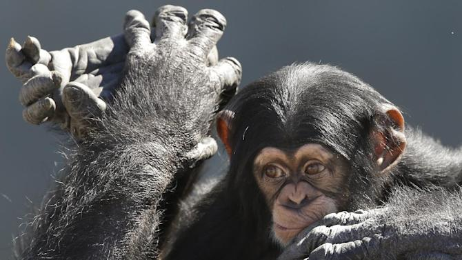 A mother chimp relaxes with her baby at Chimp Haven in Keithville, La., Tuesday, Feb. 19, 2013. One hundred and eleven chimpanzees will be coming from a south Louisiana laboratory to Chimp Haven, the national sanctuary for chimpanzees retired from federal research. (AP Photo/Gerald Herbert)