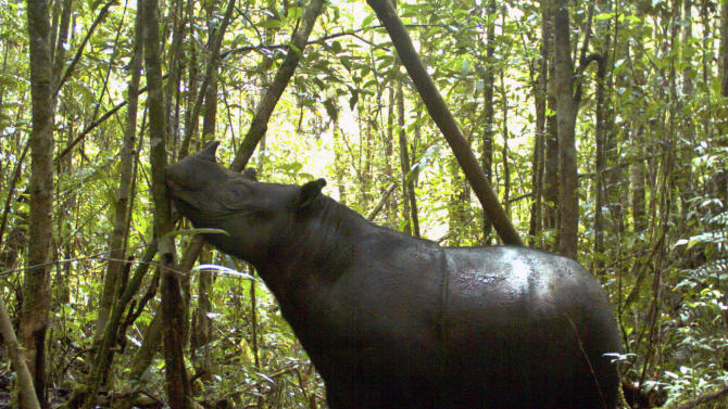 In this undated photo released by Leuser International Foundation, a Sumatran rhino roams at Gunung Leuser National Park in Aceh province, Indonesia. A conservationist from the foundation said Thursday, Aug. 9, 2012 that seven of the world's rarest rhinoceroses were photographed at the national park. It is the first sighting there in 26 years. (AP Photo/Leuser International Foundation) NO SALES