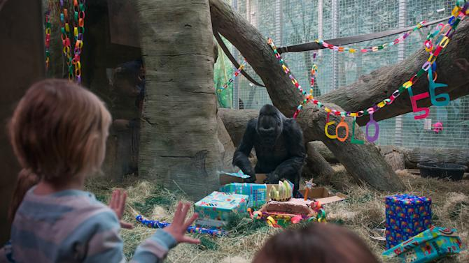 This photo provided by the Columbus Zoo and Aquarium shows 56-year-old western lowland gorilla Colo celebrating her birthday, Saturday, Dec. 22, 2012, at the Columbus Zoo and Aquarium in Columbus, Ohio. Colo is the oldest gorilla in any zoo. She was born at the Columbus Zoo and Aquarium in 1956. (AP Photo/Columbus Zoo and Aquarium, Grahm S. Jones)