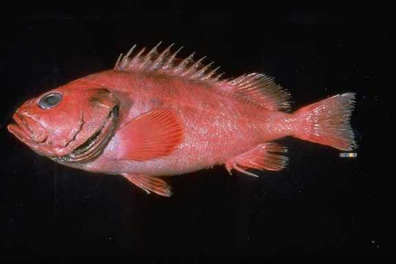 The shortraker rockfish (Sebastes borealis) is found in deep waters of the North Pacific.