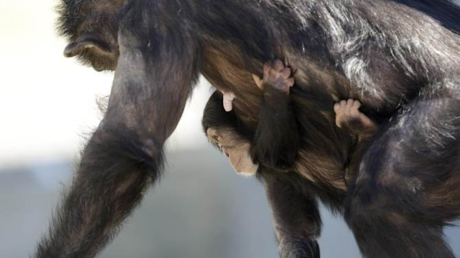 A mother chimp carries her baby at Chimp Haven in Keithville, La., Tuesday, Feb. 19, 2013. One hundred and eleven chimpanzees will be coming from a south Louisiana laboratory to Chimp Haven, the national sanctuary for chimpanzees retired from federal research. (AP Photo/Gerald Herbert)