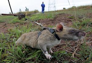Rats have been used sniff out landmines -- as well …