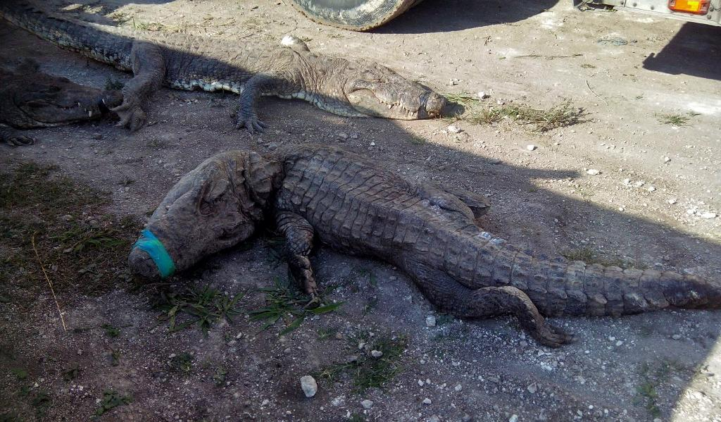 124 crocodiles suffocate in Mexico truck trip