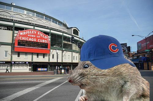 The Rat Pack: The Only Thing Loving the Wrigley Field Renovation are the Rats
