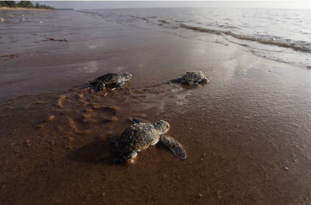 Baby green sea turtles crawl to the water from their nest on Babunsanti Beach in Marowijne District
