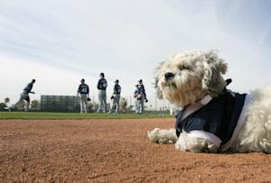 Hank, a stray dog that the Brewers recently found wandering …