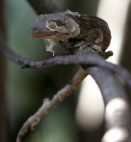 A moulting gecko clings to a twig as it is released into the sprawling compound of the Parks and Wildlife office at suburban Quezon city east of Manila, Philippines Friday July 15, 2011. Environment officials have expressed alarm about the growing illegal collection of the reptile in the Philippines with no less than the Health department warning Friday against using geckos to help treat AIDS and asthma, saying the folkloric practice that has spawned a thriving trade of Geckos in parts of Asia may put patients at risk. (AP Photo/Bullit Marquez)
