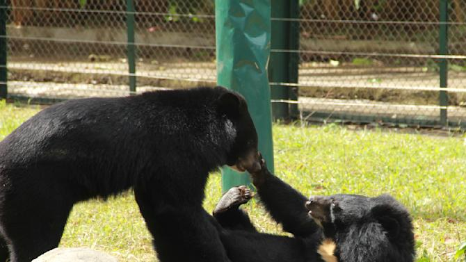 In this photo taken Oct. 29, 2012, two bears play inside an enclosure at the Vietnam Bear Rescue Center in Tam Dao, Vietnam. The bears, some of them blinded or maimed, play behind tall green fences like children at school recess. Rescued from Asia's bear bile trade, they were brought to live in this lush national park, but now they may need saving once more. The future of the $2 million center is in doubt after Vietnam's vice defense minister in July ordered it not to expand further and to find another location, saying the valley is of strategic military interest. Critics allege the park director is urging an eviction because he has a financial stake in a proposed ecotourism venture on park property - accusations he rejects. (AP Photo/Mike Ives)