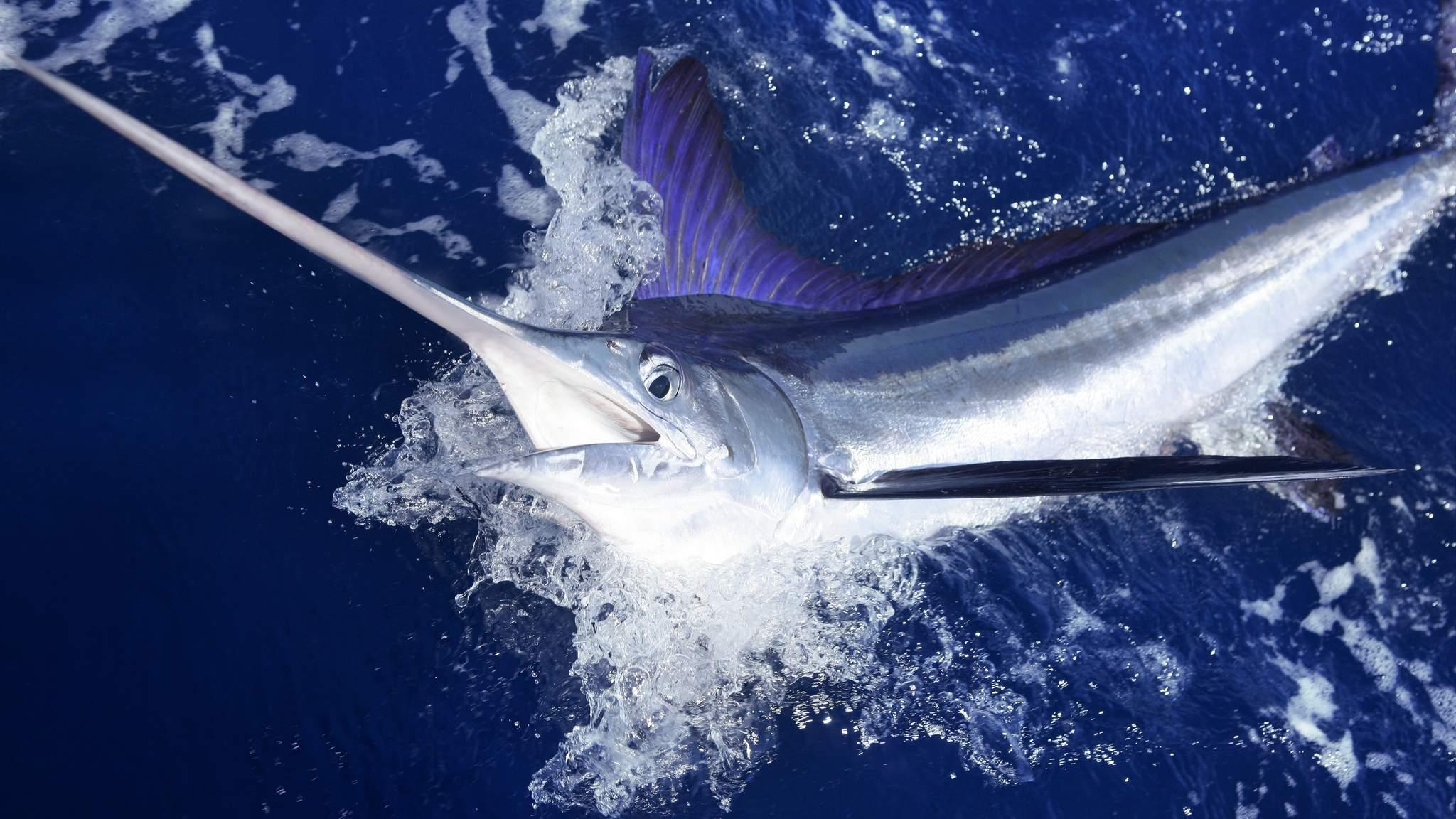 Hawaiian fisherman dies in struggle with swordfish he speared