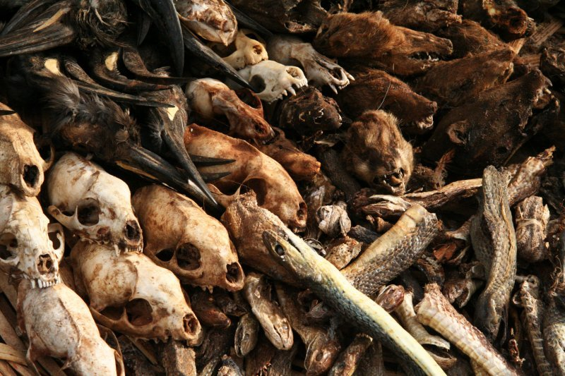 extinct extinction dead animals carcasses skulls voodoo creepy