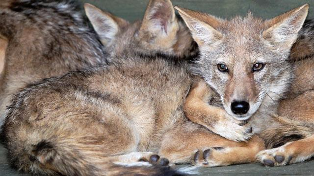 Cloned Coyotes Claimed by Once-Disgraced Korean Scientist