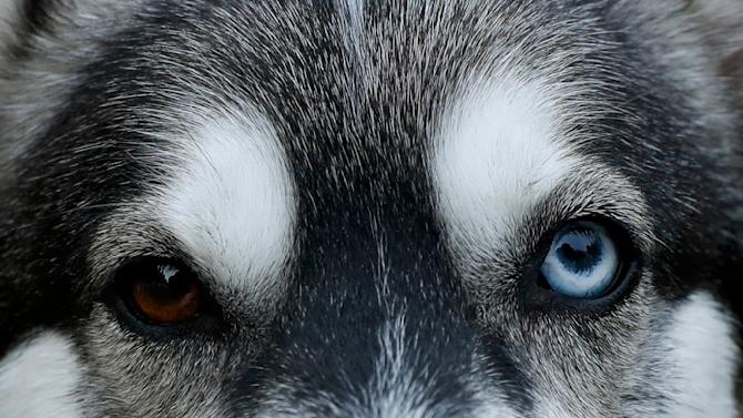 A Husky dog waits to run during practice for the Aviemore Sled Dog Rally in Feshiebridge