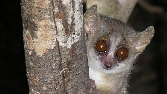 Lemur Love: How Daughters Avoid Mating With Dad