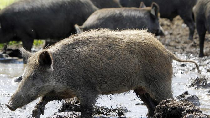 In this Aug. 24, 2011 photo, a feral hog walks in a holding pen at Easton View Outfitters in Valley Falls, N.Y. Wildlife officials in New York are devising a strategy to stop wild hogs from proliferating to the point where they're impossible to eradicate, as they've become in southern states where roaming droves have devastated crops and wildlife habitat with their rooting, wallowing and voracious foraging. (AP Photo/Mike Groll)