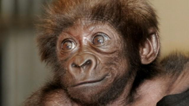 Baby Gorillas Raised By Humans at Cincinnati Zoo