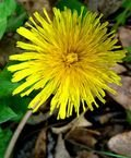 Dandelionflower