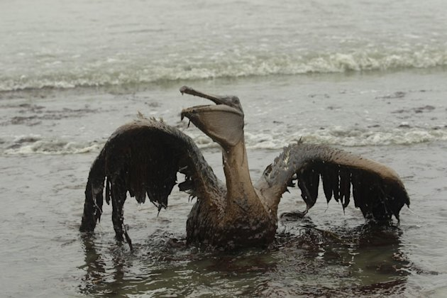 FILE - In this Thursday, June 3, 2010 file picture, a Brown Pelican tries to raise its wings as it sits on the beach at East Grand Terre Island along the Louisiana coast after being drenched in oil fr