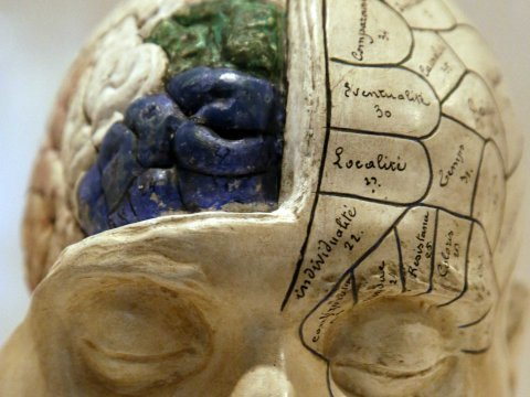 A plaster phrenological model of a head, showing different parts of the brain.
