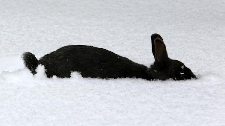 A rabbit walks in snow on March 20, 2013 in Marlow, northern Germany