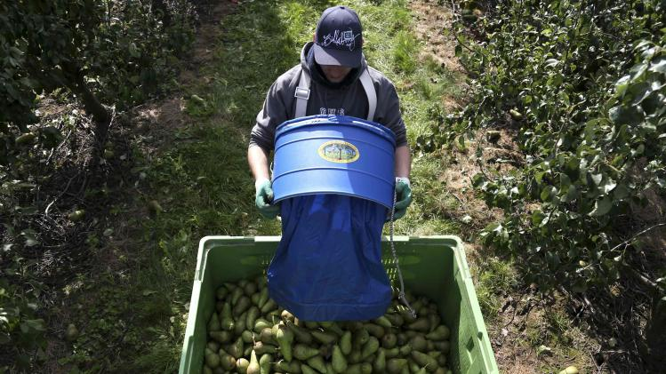 A worker harvests pears in an orchard in Hannut near Liege