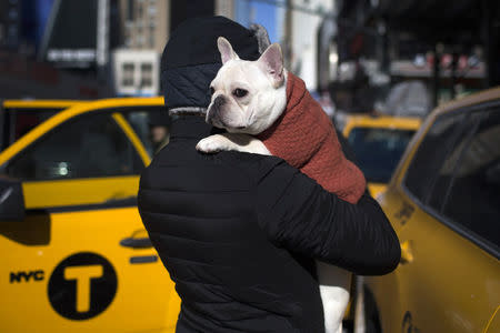French bulldog joins ranks of most popular U.S. dogs