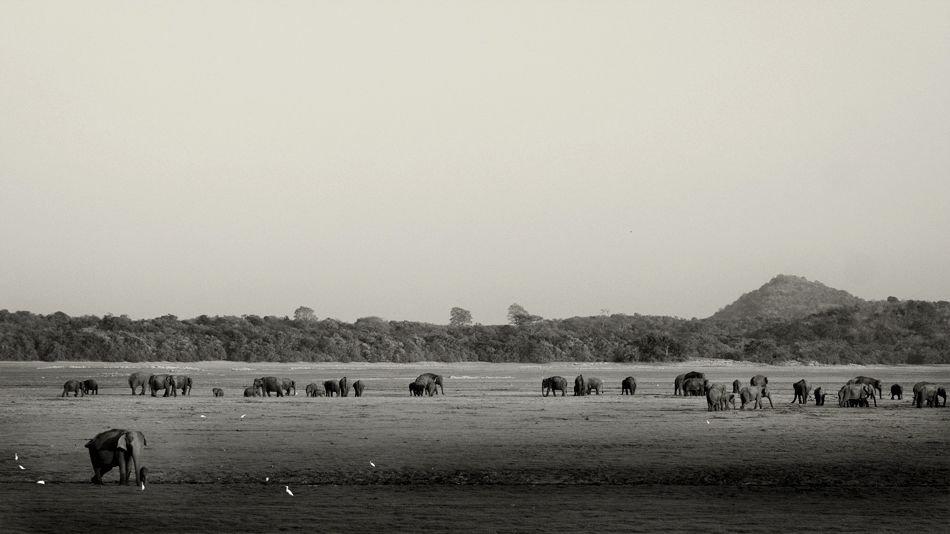 Elephants of Minneriya