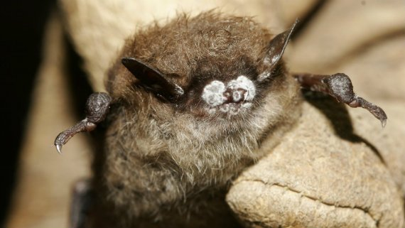 570_Bat_White_Nose_AP.jpg