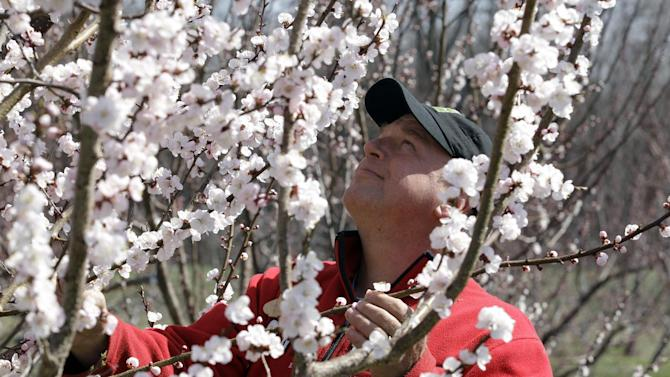 Tom Szulist, co-owner of Singer Farms Naturals, looks over an apricot tree in full bloom on the farm in Appleton, N.Y., Monday, March 26, 2012. Cold air overnight threatens to freeze plants that have budded or blossomed early amid record-setting warmth. (AP Photo/David Duprey)